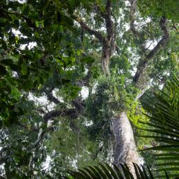 View of the canopy structure of the rainforest, as seen from the ground. (Photo: Marielle Smith)