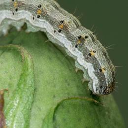 A caterpillar of the cotton bollworm (Helicoverpa armigera) readies to devour a boll of cotton. (Photo: Wenxue Pan/Nanjing University)